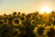 sunflowers_marko-blazevic-313835-unsplas