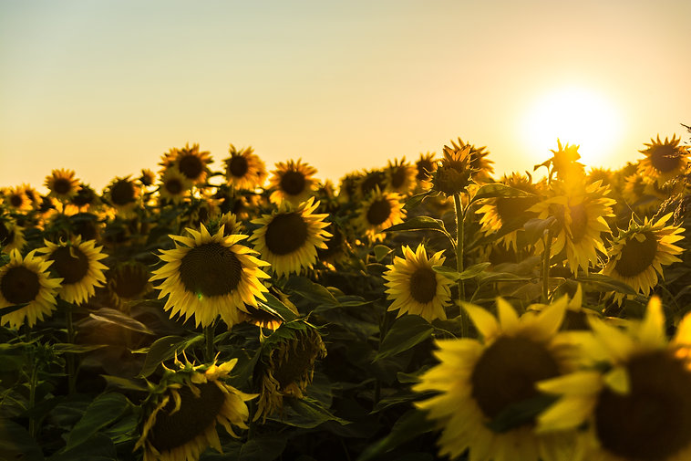 sunflowers_marko-blazevic-313835-unsplas