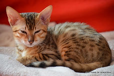 Pedigree Bronze Egyptian Mau