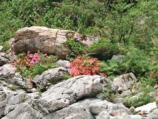 岩ツツジ開花速報