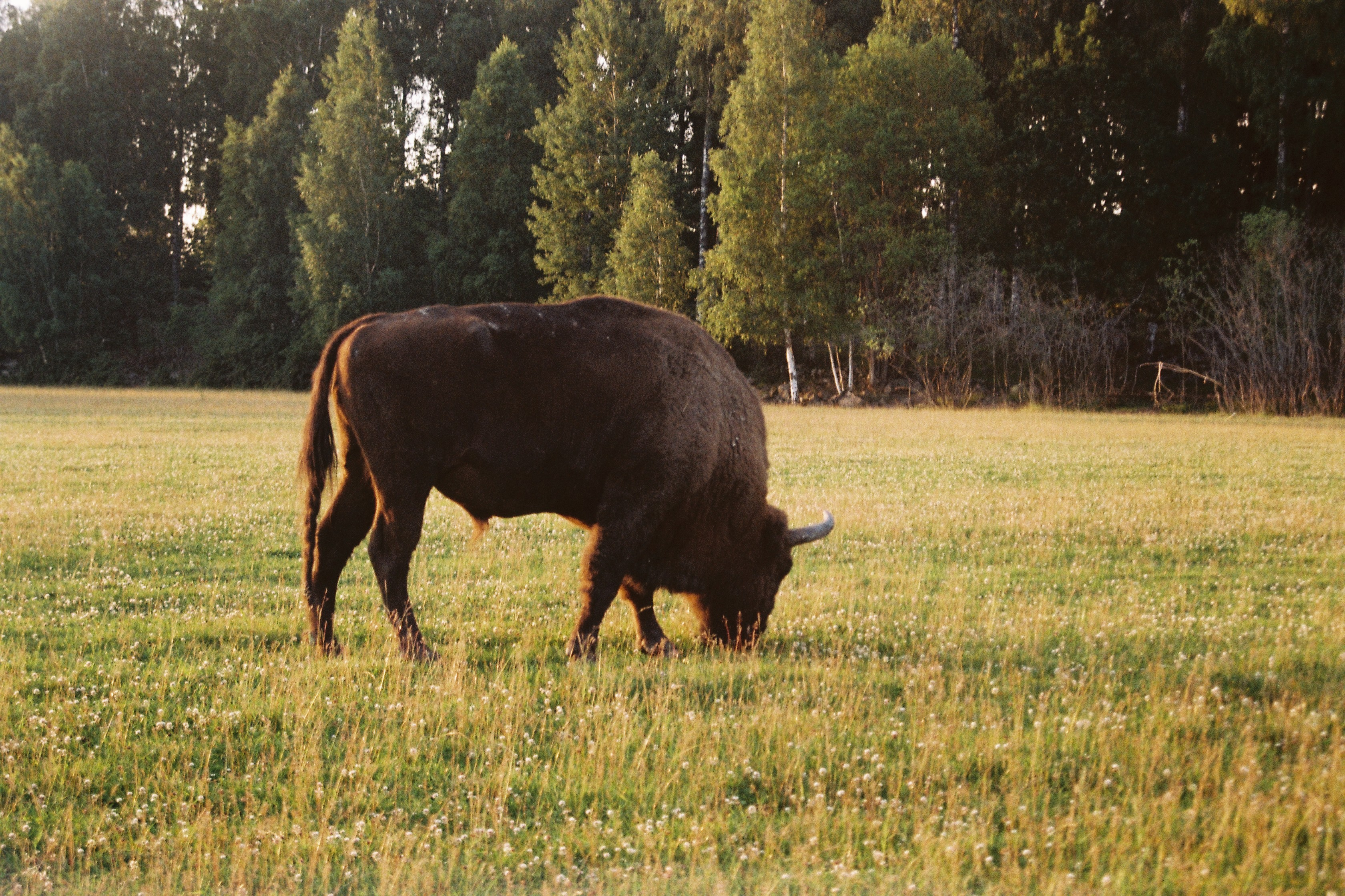 Great Bison