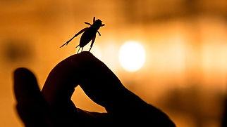 Spiselige insekter i Samvirke