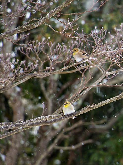 Snow Finch's Photo Print 11x14