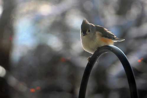 Snow Bird Collection: Titmouse