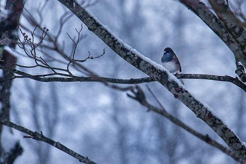 Snow Bird Collection: Towhie