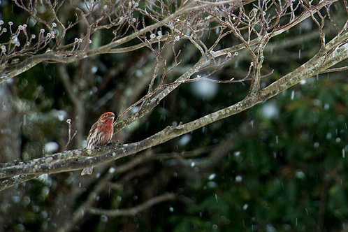 Snow Bird Collection: Red Finch