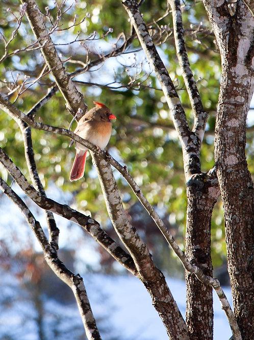 Snow Bird Collection: Cardinal