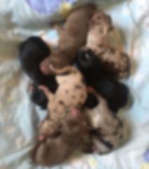 Shiloh's newborn pups.jpg
