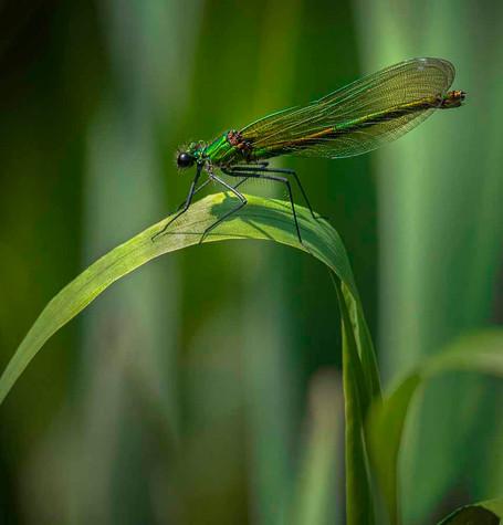Eric O'Neill: Green Damsel Fly