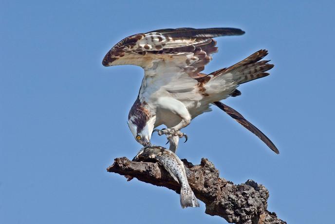 Mick Feeney: Osprey & Catch