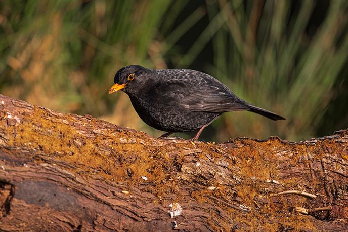 Eric O'Neill: Blackbird