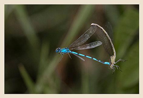 Mating Damselflys in Flight.jpg
