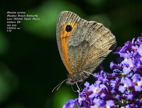 Maniola jurtina, Meadow Brown Butterfly # 1.jpg
