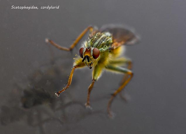 Scatophagidae, Cordylurid Dung Fly