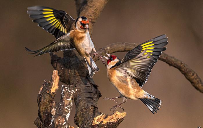 Eric O'Neill: Goldfinch Squabble