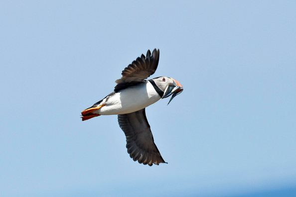 Mick Feeney: Puffin at the Saltees