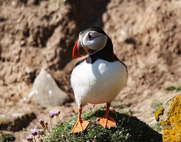 Vincent Doyle: Puffin at the Saltees