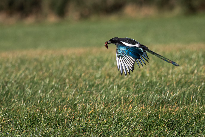 Eric O'Neill: Hungry Magpie