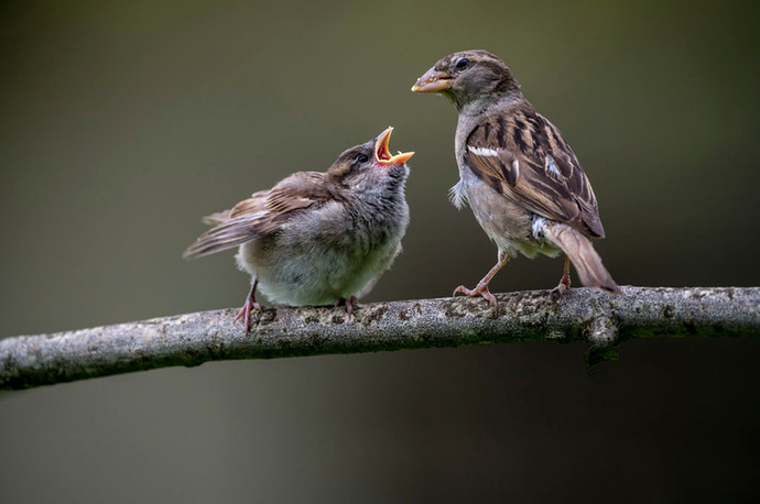 John Butler: Hungry Sparrow Chick