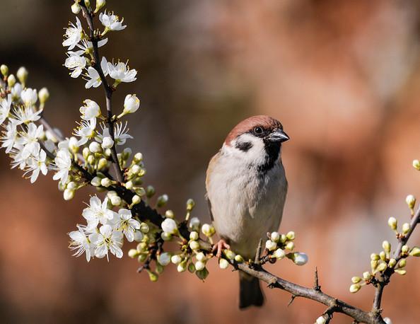 Joe Curtis: Tree Sparrow Sitting Pretty