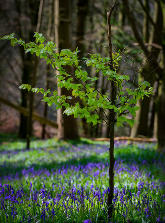 Siobhan Black: Bluebell Forest