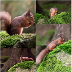 Des Clinton: A Scurry of Red Squirrels