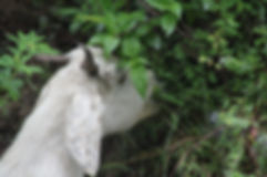 an animal eating herbs