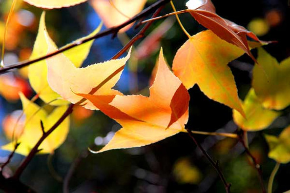 DonMilner-Maple-Leaves_2-600.jpg