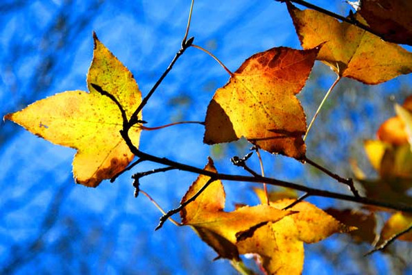 DonMilner-Maple-Leaves_1-600.jpg