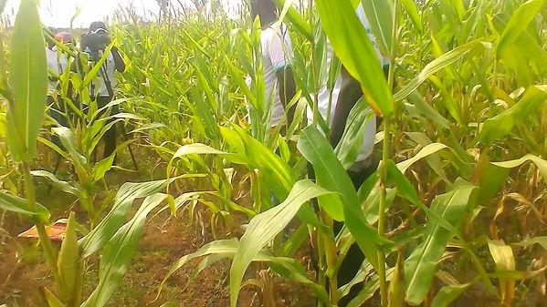 l'équipe de Nano sur le champ de maïs.jp