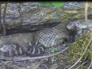 Rattlesnake Wakeup Call