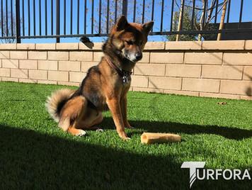 Pet-friendly - Turfora Artificial Grass