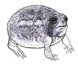 Desert rain frog