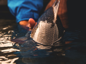 Fishing the Fall Transition: A Skinny-Water Redfish Story
