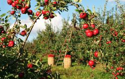 04 Fruit Picking