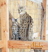akila savannah f3 kittens avaliable