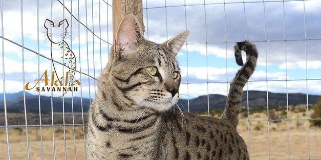 Akila Savannah f3 kittens