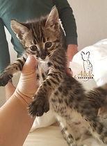 akila savannah f3 kitten