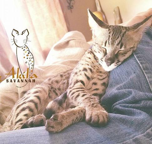 akila savannah f2 female