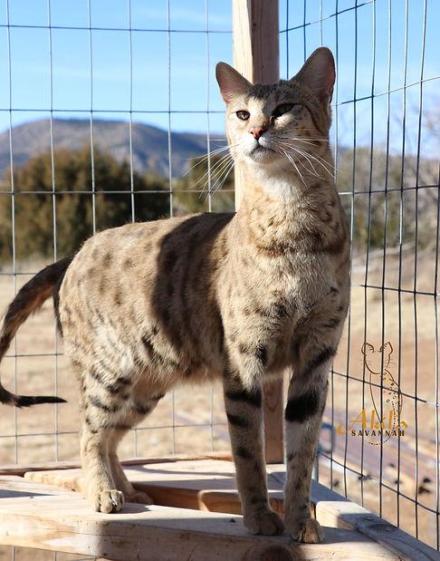 Akila Savannahs-f3 savannah cats -exotic cats