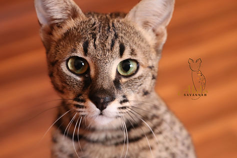 Akila Savannah F2 Savannah cat