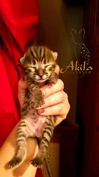 Akila Savannah-F3 liddy