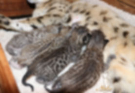 akila savannah, f3 kittens, exotic savanah cats