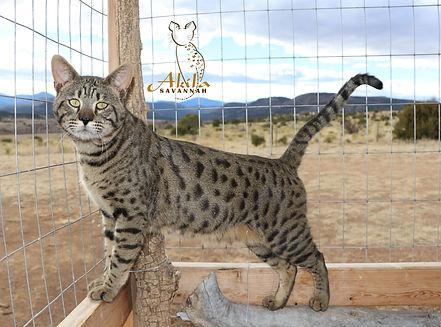 Akila Savannah F3 kittens available