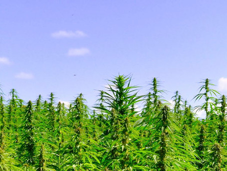 Farmers consider hemp for crop to replace tobacco