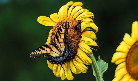 Doug Sasser photo of sunflower