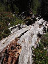 ... und zahlreichen, naturschutzfachlich äußerst wertvollem Totholz,