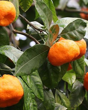mandarins-4013784_1280.jpg