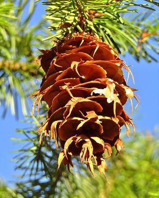 pine-cones-4855557_1920.jpg