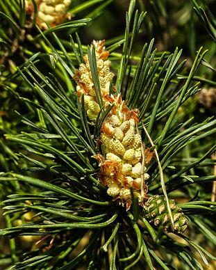 forest-pine-3375229_1920.jpg